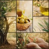 pic of olive trees  - Nature series - JPG