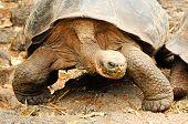 foto of tortoise  - giant turtle or tortoise from Galapagos Ecuador - JPG