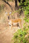 ������, ������: One impala in Africa