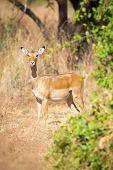 Постер, плакат: One impala in Africa