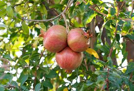picture of pomegranate  - Pomegranate tree - JPG