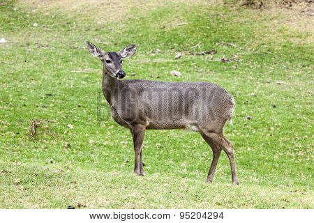 Whitetail famele deer hatchery,