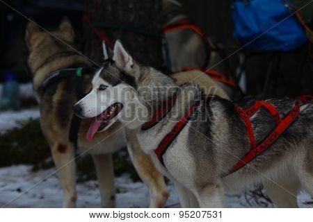 A Siberian husky in harness.