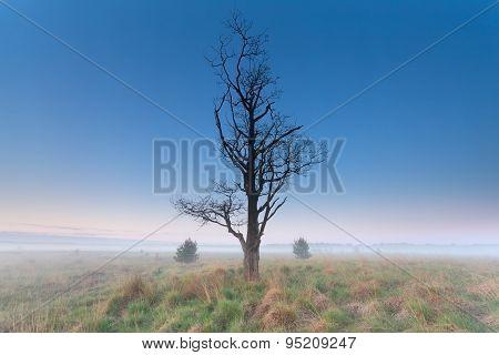 Tree Om Misty Morning Meadow