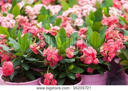 Blossoming Euphorbia In Flowerpots On A Show-window Of Flower Shop