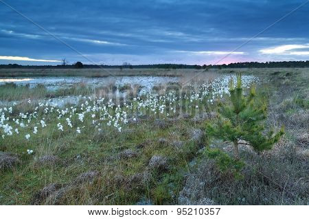 Cotton Grass On Swamp