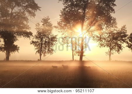 Foggy Sunrise On Pasture With Sheep