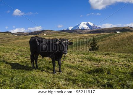 Pastures For Wild Cattle In Chimborazo