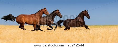 Horses run in corn field