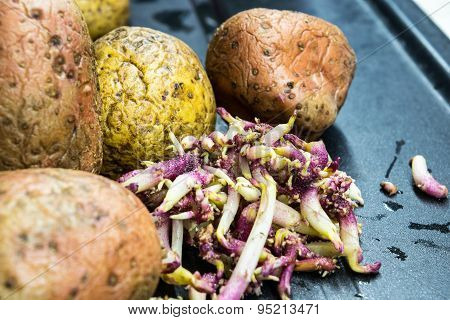 Raw sprouting potatoes on the table