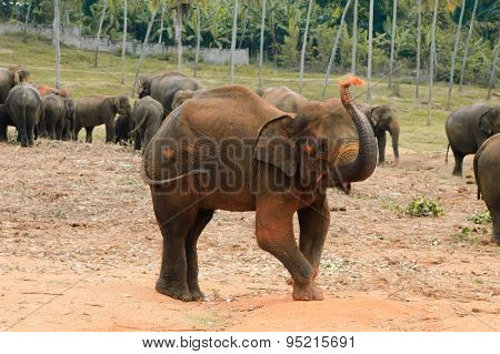 Elephant spraying himself with soil