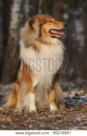Beautiful Scotch Collie In The Forest
