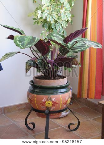 Calathea Flower Pot