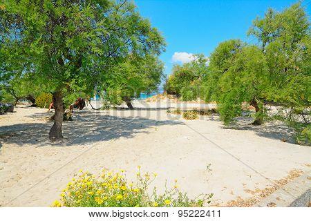 Pine Trees In Alghero Lido