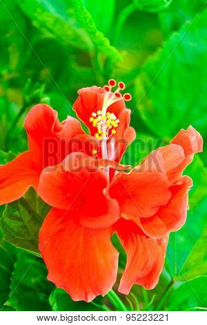 Beautiful Red Hawaiian Hibiscus Flower