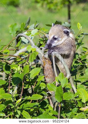South American coati (Nasua nasua) baby