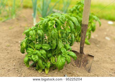Basil in the Garden
