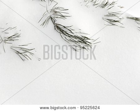 Softwoods Pine Needles Covered With Snow. As Background For A Christmas Design.