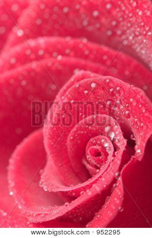 Rose Petails