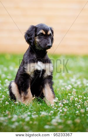 adorable afghan hound puppy