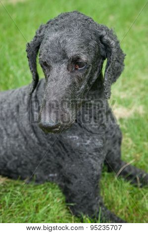 Blue Standard Poodle Outside