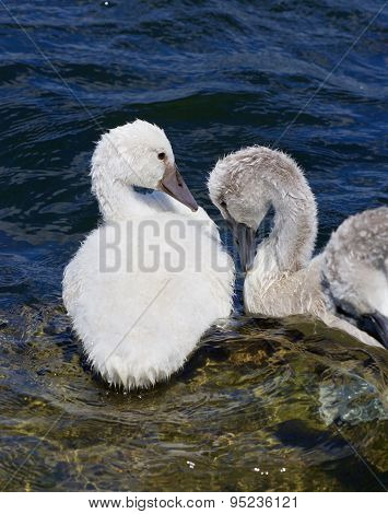 Two Young Mute Swans Lovers