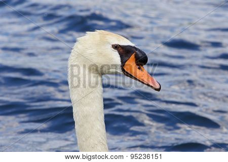 Beautiful Close-up Of The Thoughtful Mute Swan