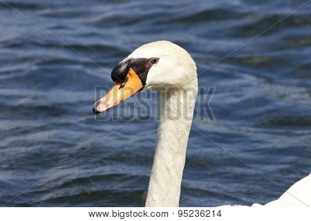 The Portrait Of The Swan