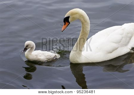The Mute Swan And Her Cute Chick Are Swimming Together