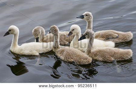 Six Chicks Of The Mute Swans Are Swimming Together