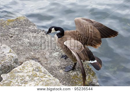 Beautiful Cackling Goose Has Jumped On The Rock From The Water