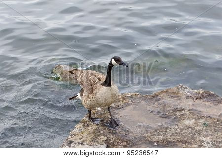 Beautiful Cackling Goose Is Going On The Rock
