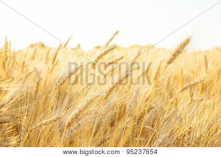 Gold Wheat Field On The Early Morning
