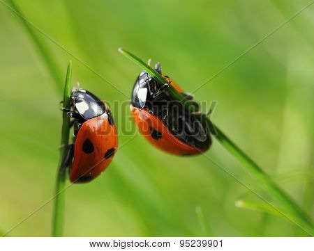 Two Ladybugs In Grass Blades