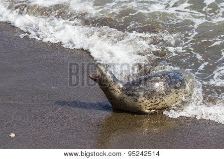 Seal In California