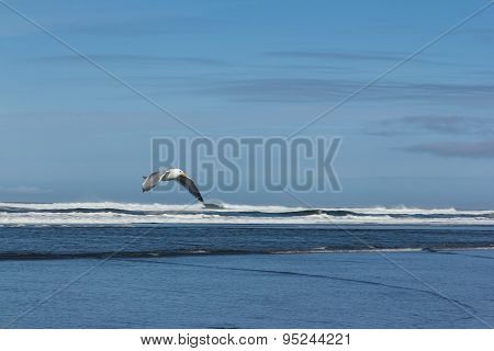 Low flying Seagull