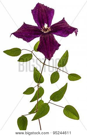 Clematis Flowers, Isolated On White Background