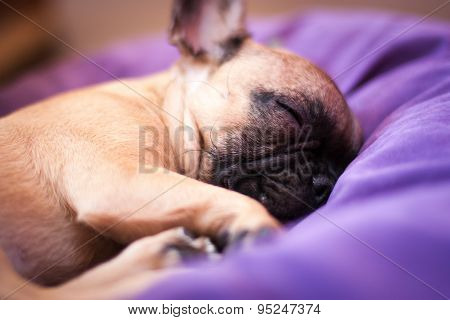 small sleeping French bulldog