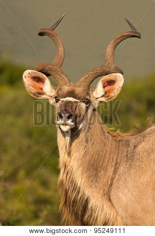 Male Kudu Antelope With Long Horns