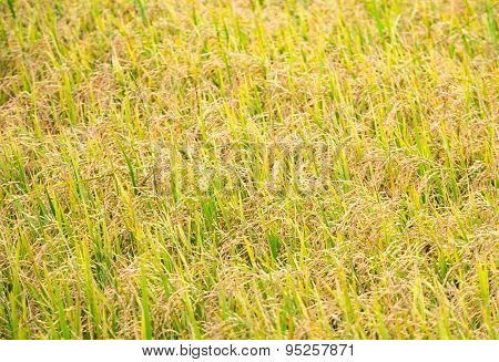 Rice Field Ready To Be Harvested