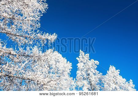 Hoarfrost On The Trees And Dark Blue Sky.
