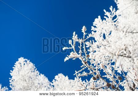 Hoarfrost On The Trees And Dark Blue Sky