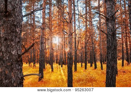 Autumn Forest With Sunbeams Through The Trees At Sunset