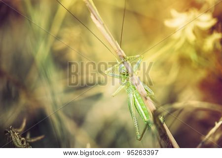 Green Grasshopper On The Green Grass