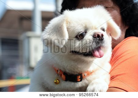 Cute Dog In Woman Arms