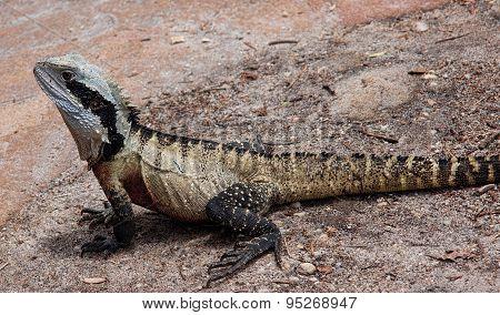 Eastern Australian Water Dragon..
