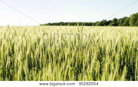 Field Sown Cereals - Wheat