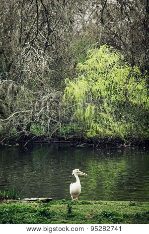 White Pelican And Lake In St. James's Park