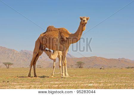 Youn Camel Suckling