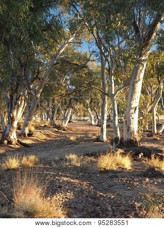 Gum trees in the dry Roe creek river bed